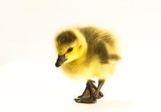 Oies de Canadien de bébé Photos libres de droits