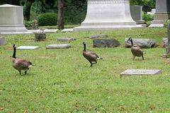 Oies 2 de cimetière Photo stock