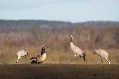Oies de grues et de Canada au lac Hornborga en Suède Image libre de droits