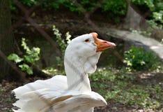 Oies de Kholmogory derrière des barres en captivité Photographie stock