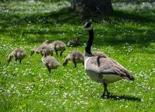 Oies de maman et de bébé dans un domaine des marguerites blanches Photo stock