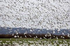 Oies de neige atterrissant dans un domaine Image libre de droits