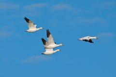 Oies de neige de vol Photos libres de droits