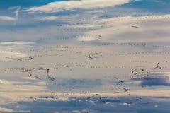 Oies de neige en vol Images stock