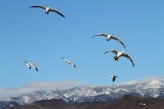 Oies de neige et montagnes Snow-covered Photographie stock libre de droits