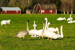Oies de neige migratrices alimentant à une ferme Image libre de droits