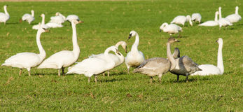 Oies de neige migratrices alimentant à une ferme Images libres de droits