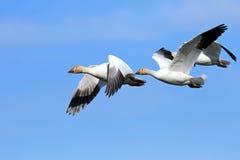 Oies de neige pilotant la formation - migration images libres de droits