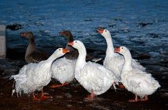 Oies de Sébastopol au crépuscule Image stock