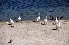Oies de Shoreline Photographie stock libre de droits