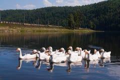 Oies de village sur le fleuve d'Agidel Images libres de droits
