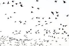 Oies de vol Image stock