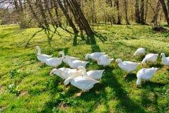 Oies domestiques Photo stock