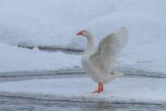 Oies domestiques en hiver Photo stock