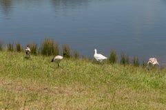 Oies domestiques et oiseaux d'IBIS sacré près de l'étang, lac photographie stock libre de droits