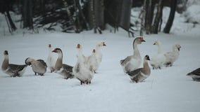 Oies domestiques extérieures en hiver Oies marchant dans la forêt snovy d'hiver clips vidéos