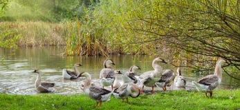 Oies domestiques sur le rivage d'un étang Photographie stock libre de droits