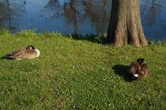 Oies dormant sur l'herbe par l'arbre et l'eau bleue Photos stock