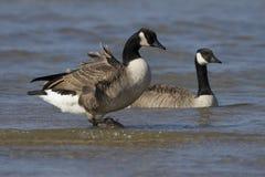 Oies du Canada à la plage Photographie stock libre de droits