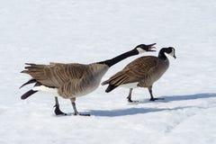 Oies du Canada Image stock