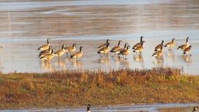 Oies du Canada Photo libre de droits
