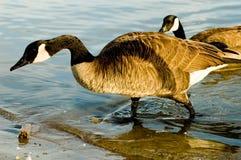 Oies du Canada Image libre de droits