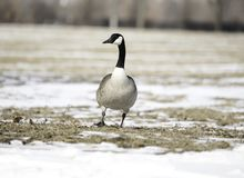 Oies du Canada appréciant le jour photos stock