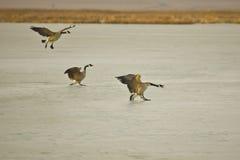 Oies du Canada atterrissant sur la glace Photo libre de droits