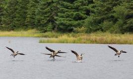 Oies du Canada atterrissant sur un lac Images libres de droits