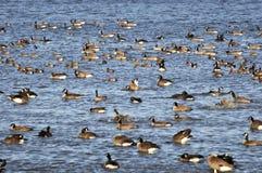 Oies du Canada recueillant dans la baie de borne image stock