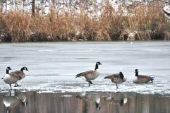 Oies du Canada sur la glace image libre de droits