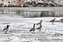 Oies du Canada sur la glace Photographie stock libre de droits