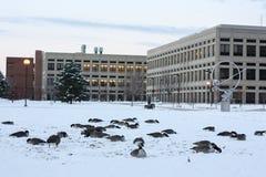 Oies du Canada sur la neige à Indianapolis, Indiana, Etats-Unis image stock