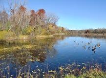 Oies du Canada sur un étang Images stock