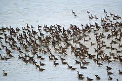 Oies du Canada sur un étang glacial Image libre de droits