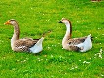 Oies en Sandro Pertini Park, Toscane, Italie photographie stock libre de droits