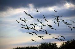Oies en vol Photo stock