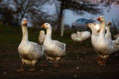 Oies engraissées blanches au crépuscule à côté d'une route à grand trafic photographie stock libre de droits