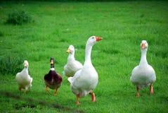 Oies et canards Images stock