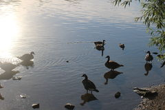 Oies et canards se reposant en eau peu profonde avec le soleil se reflétant  photos libres de droits