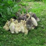 oies et canards vivant dans le sauvage Photographie stock