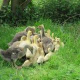 oies et canards vivant dans le sauvage Photos stock