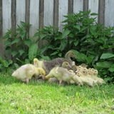 oies et canards vivant dans le sauvage Photographie stock libre de droits
