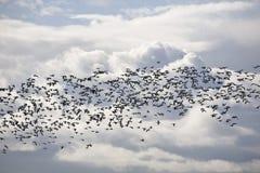 Oies et les nuages Image stock