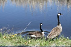 Oies et oisons de Canada Photo libre de droits