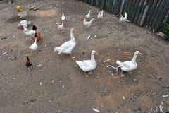 Oies et poulets images libres de droits