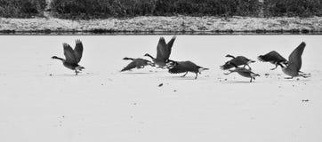 Oies fonctionnant au-dessus d'un lac figé image stock