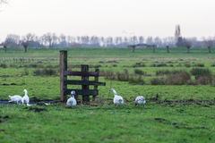 Oies forageant sur des terres cultivables de polder Photo stock