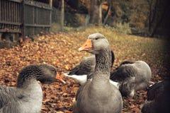 Oies grises à une ferme - feuilles d'automne à l'arrière-plan Photographie stock libre de droits