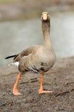 Oies grises Photographie stock